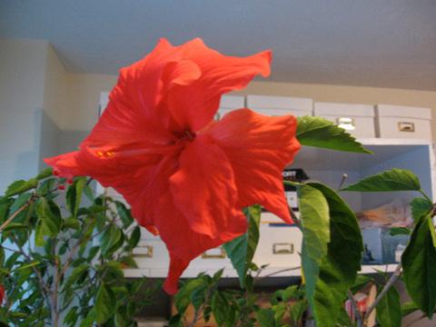 Hybiscisflower